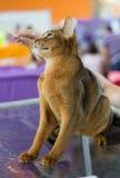 De kat van Abyssinian Royalty-vrije Stock Foto's