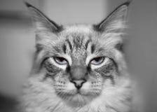 De kat van B&w Stock Foto