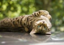 De kat van Bengalen Stock Foto