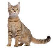 De kat van Bengalen, 19 maanden oud, het zitten Royalty-vrije Stock Foto