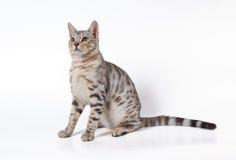 De kat van Bengalen Stock Afbeeldingen