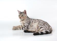 De kat van Bengalen Royalty-vrije Stock Afbeelding