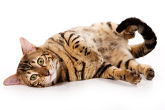 De kat van Bengalen Royalty-vrije Stock Foto