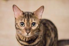 De kat van Bengalen het kijken stock foto's