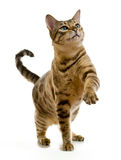 De kat van Bengalen het krabben bij de lucht Stock Foto's