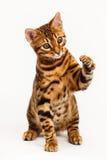 De kat van Bengalen het spelen Stock Foto