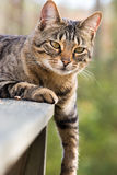 De kat van Bengalen met been die neer hangen Royalty-vrije Stock Afbeelding