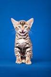 De kat van Bengalen op blauwe achtergrond royalty-vrije stock afbeelding