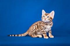 De kat van Bengalen op blauwe achtergrond royalty-vrije stock afbeeldingen