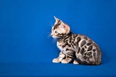 De kat van Bengalen op blauwe achtergrond Stock Foto's