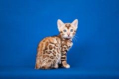 De kat van Bengalen op blauwe achtergrond Royalty-vrije Stock Fotografie