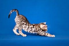 De kat van Bengalen op blauwe achtergrond Royalty-vrije Stock Foto's