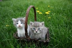 De kat van de baby Royalty-vrije Stock Foto's
