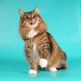 De kat van de bobtail likt zich portret Royalty-vrije Stock Afbeeldingen