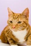 De kat van de gember Royalty-vrije Stock Foto