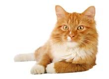 De kat van de gember Stock Afbeeldingen