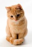 De kat van de gember die op wit wordt geïsoleerdr Royalty-vrije Stock Foto's