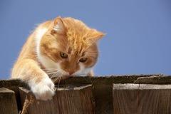 De kat van de gember en blauwe hemel Royalty-vrije Stock Afbeeldingen