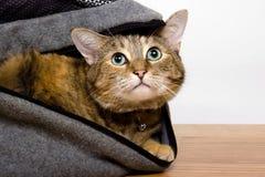 De Kat van de gestreepte kat Stock Afbeeldingen