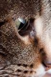 De kat van de gestreepte kat. Royalty-vrije Stock Afbeelding