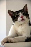 De kat van de gestreepte kat Royalty-vrije Stock Foto's