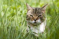 De Kat van de gestreepte kat Stock Afbeelding