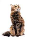 De kat van de gestreepte kat Stock Fotografie