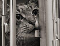 De kat van de gestreepte kat in een kooi Stock Foto