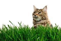 De kat van de gestreepte kat in gras Stock Afbeeldingen