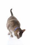 De kat van de gestreepte kat het voeden Royalty-vrije Stock Foto
