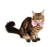 De kat van de gestreepte kat met boog Stock Foto's