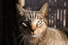 De Kat van de gestreepte kat met Groene Ogen Stock Foto's