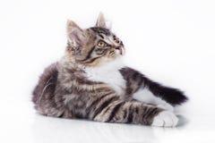 De kat van de gestreepte kat op een witte achtergrond Royalty-vrije Stock Afbeeldingen