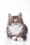 De kat van de gestreepte kat op een witte achtergrond Stock Foto