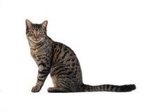 De Kat van de gestreepte kat op Wit royalty-vrije stock afbeeldingen