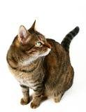 De kat van de gestreepte kat op witte achtergrond Royalty-vrije Stock Afbeeldingen
