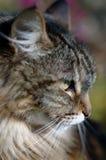 De Kat van de gestreepte kat in Profiel Royalty-vrije Stock Foto's