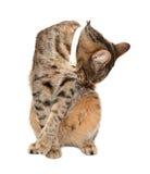 De kat van de gestreepte kat zit en was royalty-vrije stock foto