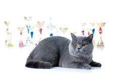 De kat van de kampioen met koppen op wit royalty-vrije stock foto