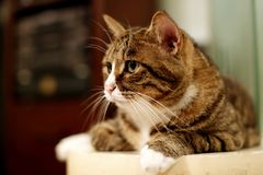 De kat van de luipaard Stock Foto