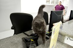 De kat van de receptionnist Royalty-vrije Stock Fotografie