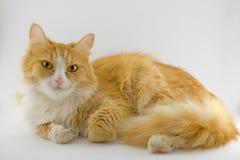 De kat van de roodharige stock afbeeldingen