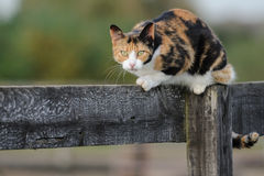 De Kat van de schuur royalty-vrije stock afbeelding