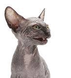 De kat van de sfinx Stock Foto