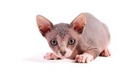 De kat van de sfinx Royalty-vrije Stock Afbeeldingen