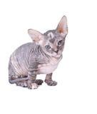 De kat van de sfinx Royalty-vrije Stock Foto's