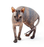 De kat van de sfinx Stock Foto's