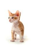 De kat van de sfinx Royalty-vrije Stock Foto