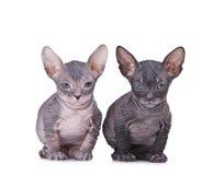 De kat van de sfinx Royalty-vrije Stock Afbeelding
