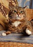De kat van de strijder Stock Afbeeldingen